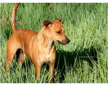 Africanis Dog Breed
