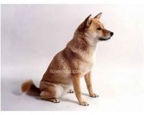 Ainu Dogs