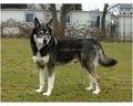 American Indian Dog