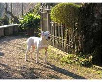 Argentine Dogo