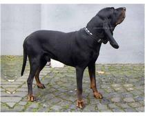 Austrian Black And Tan Hound
