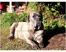 Bandog Dog