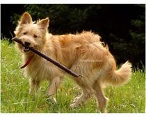 Basque Shepherd Dog Breed