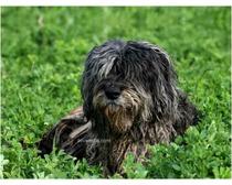 Bergamasco Shepherd Dog Breed