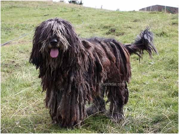 Bergamasco Shepherd Dog