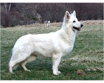 Berger Blanc Suisse Dogs
