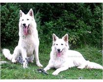 White Swiss Shepherd Dog Breed