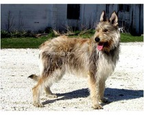 Picardy Shepherd Dog Breed