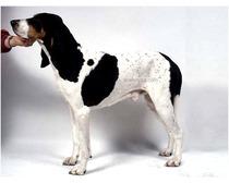 Berner Laufhund Dog Breed