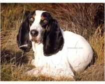 Berner Laufhund