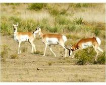 Antelope Animal
