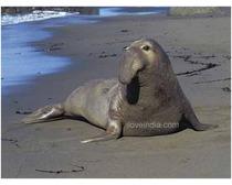 Elephant Seal
