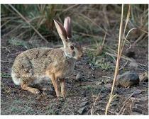 Hispid Hares