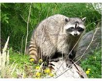 Raccoon Animal
