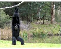 Siamang Gibbon Ape